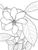 Gardenia Coloring Page