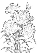 Carnation Coloring Page