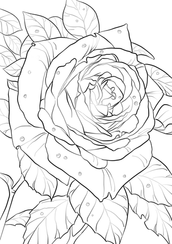 oklahoma rose coloring page  free coloring pages online