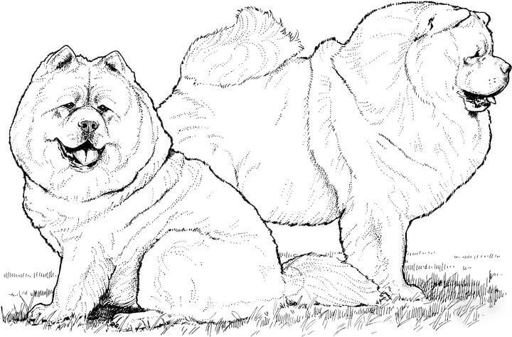 A Couple of Chow Chow Coloring Page