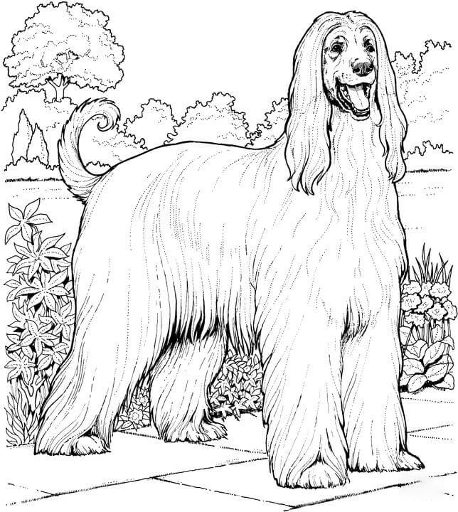 Afghan hound dog Coloring Page
