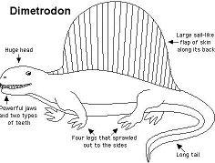 Anatomy Dimetrodon