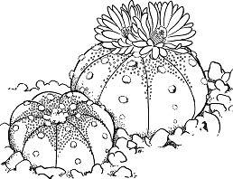 Astrophytum asterias or Sand Dollar Cactus