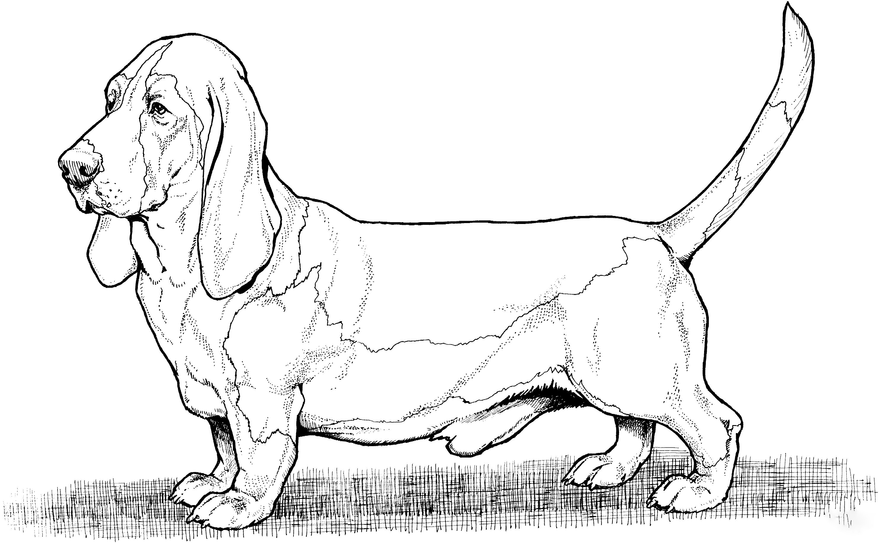 Basset Hound  2 Coloring Page