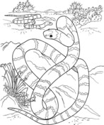 Big Long Snake In A Desert