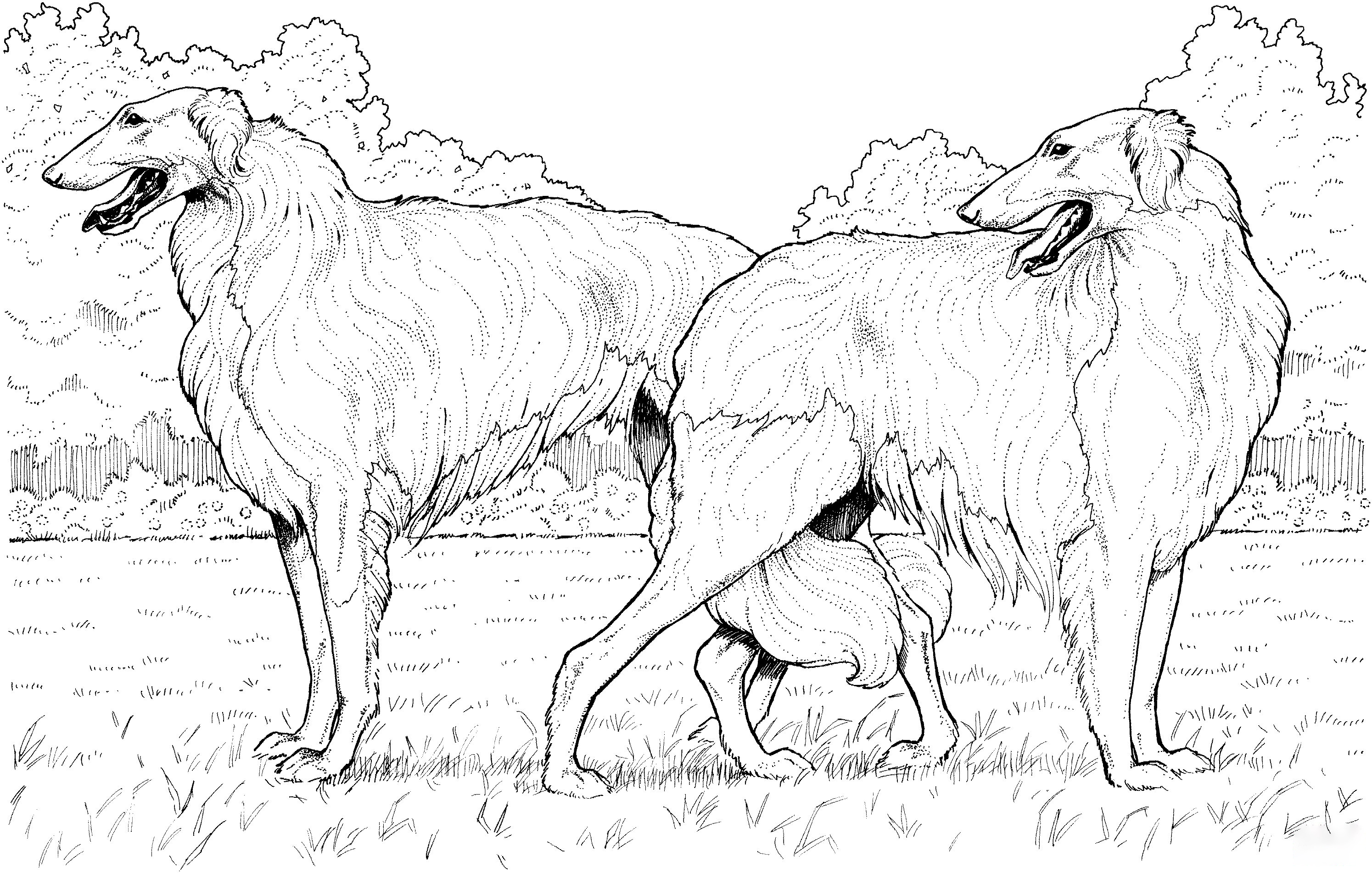 Borzoi Russian Wolfhound Coloring Page
