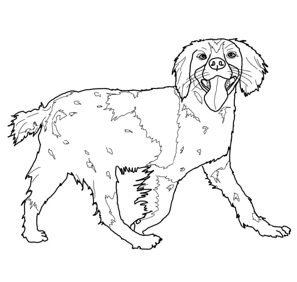 Brittany Spaniel Coloring Page