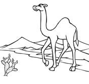Camel On The Go Through Desert