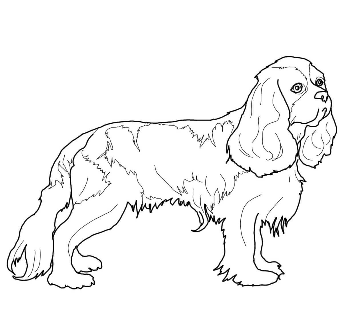 Cavalier King Charles Spaniel Coloring Page