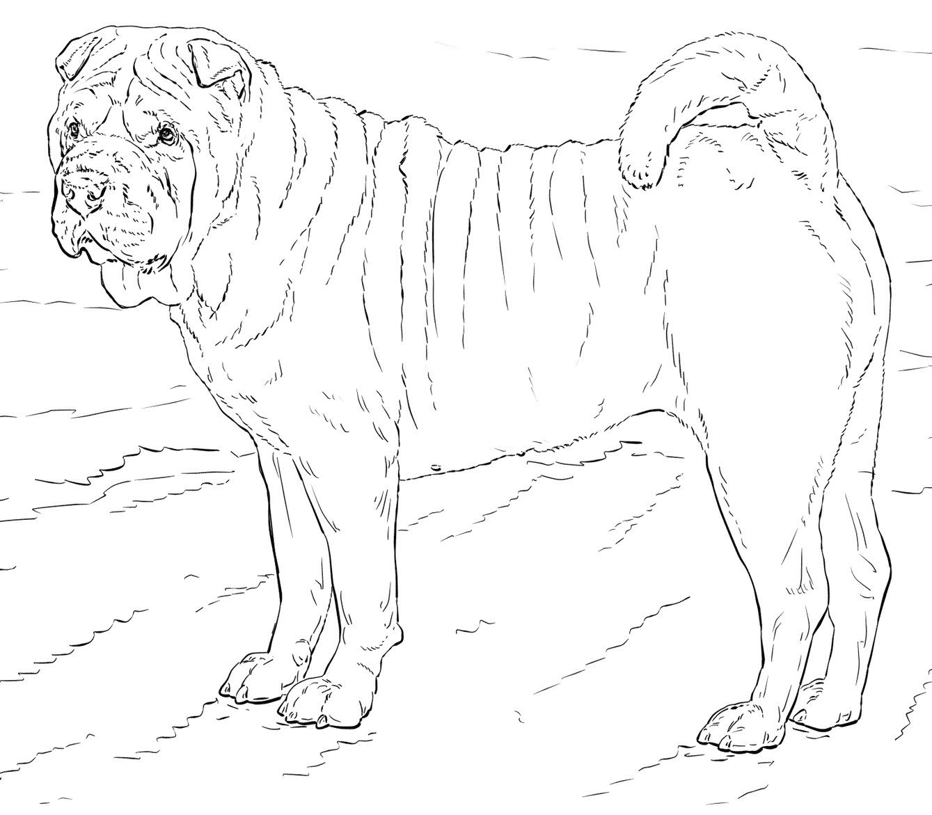 Chinese Shar-pei Coloring Page