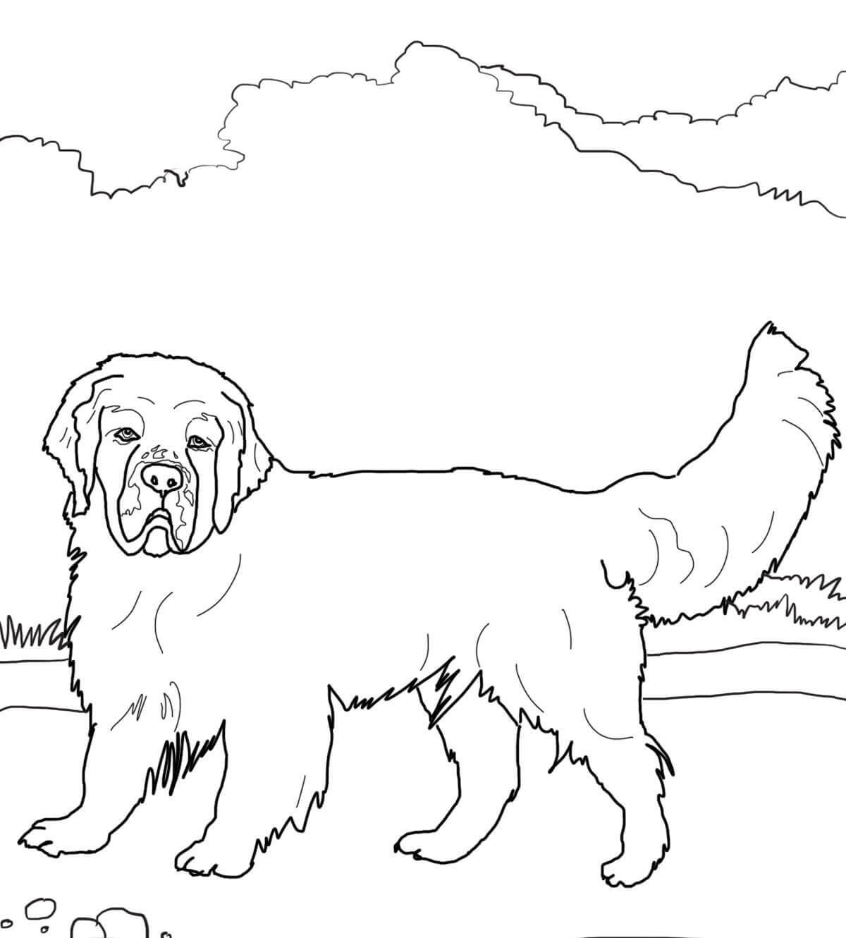 Clumber Spaniel Coloring Page