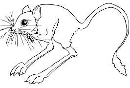 Desert Rodent Jerboa