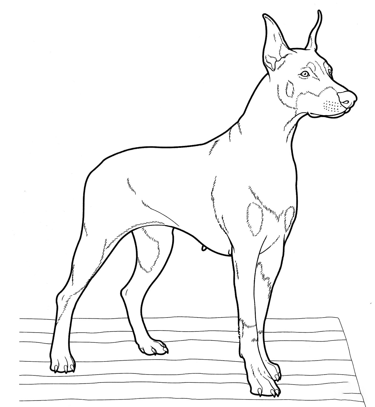 Doberman Coloring Page