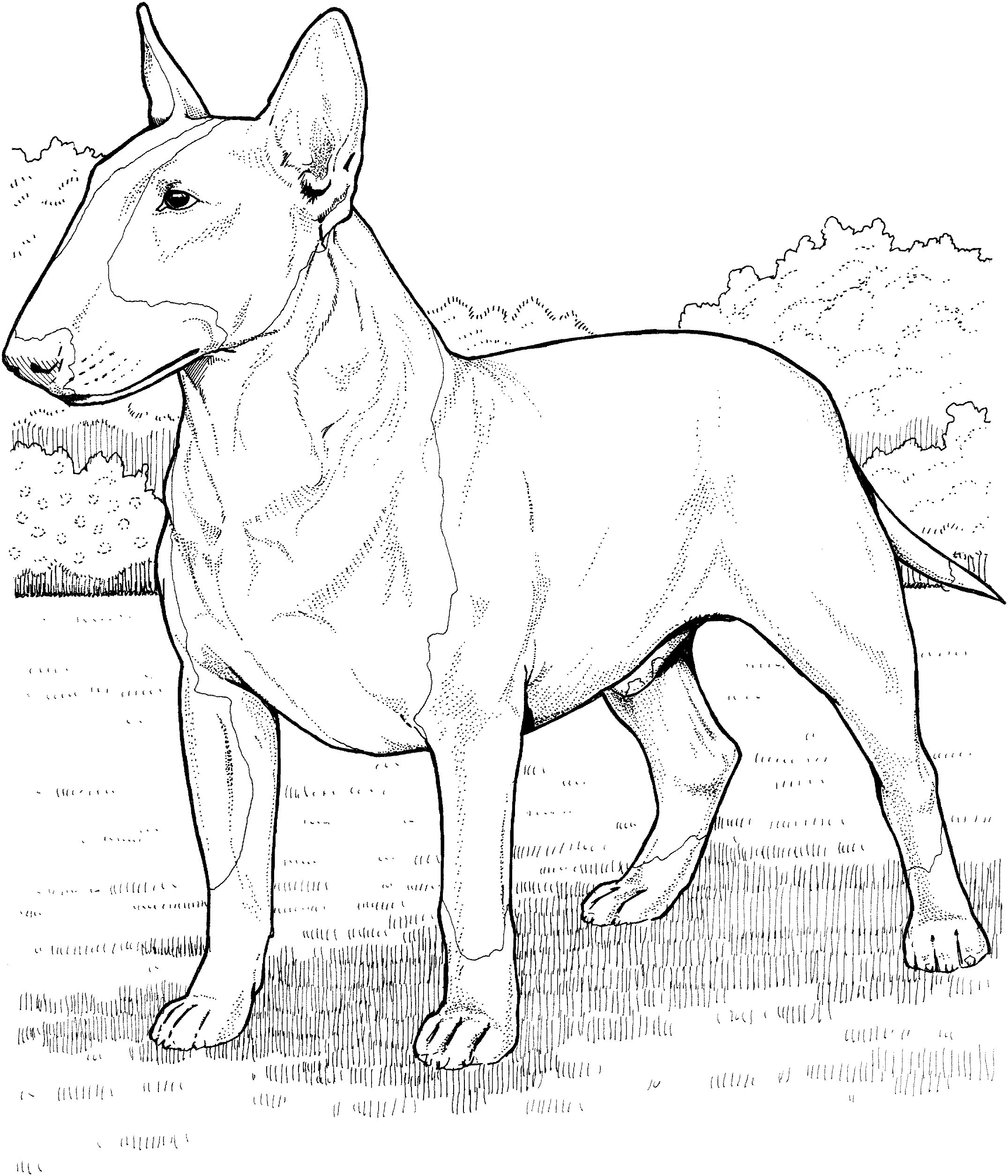 English Bull Terrier Coloring Page