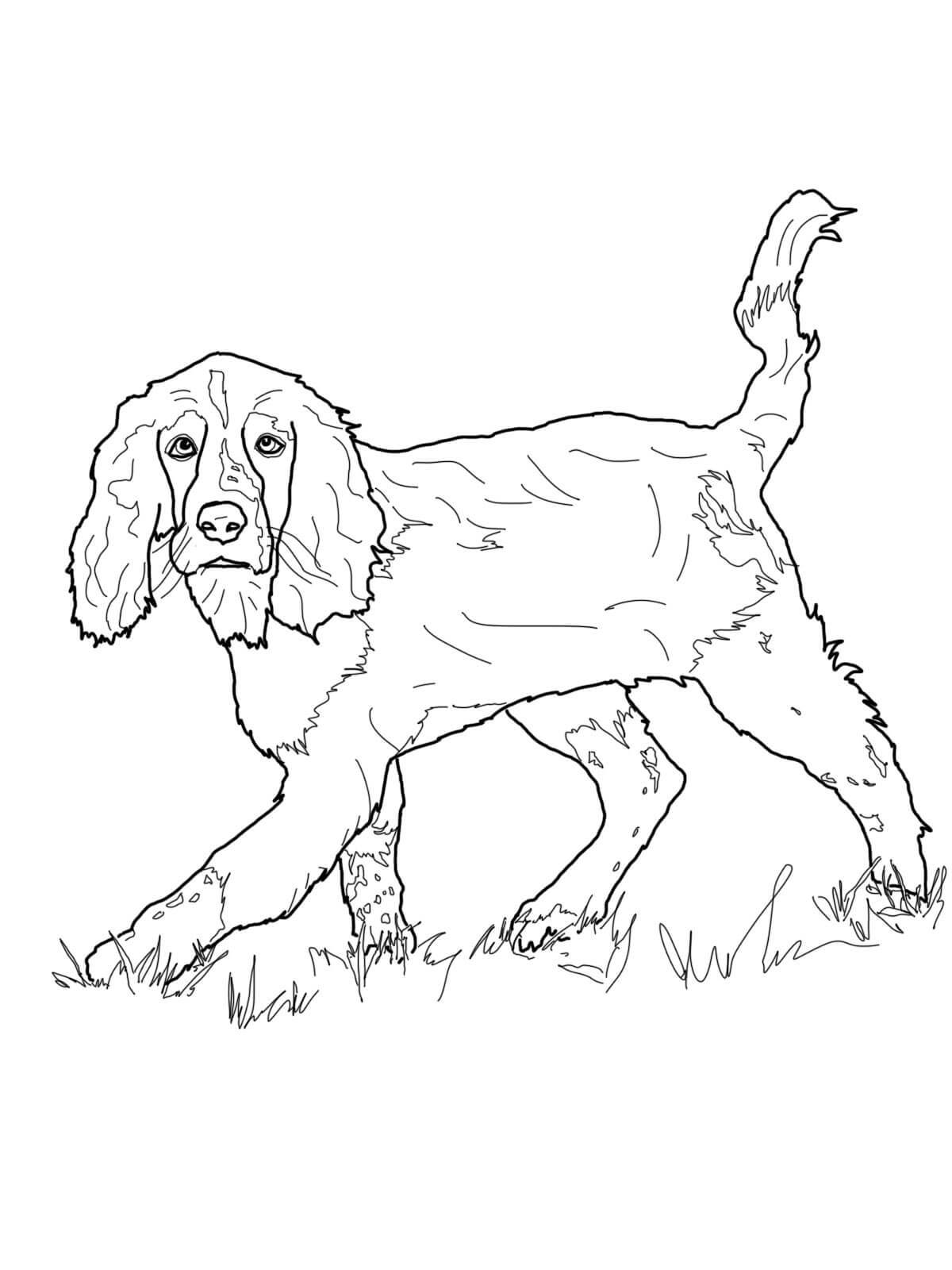 English Springer Spaniel Coloring Page