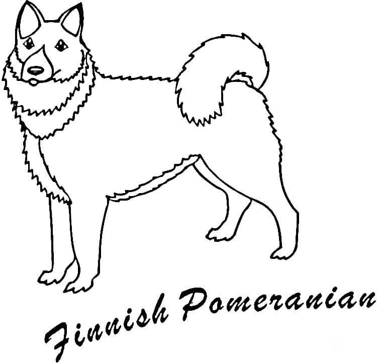 Finnish Pomeranian
