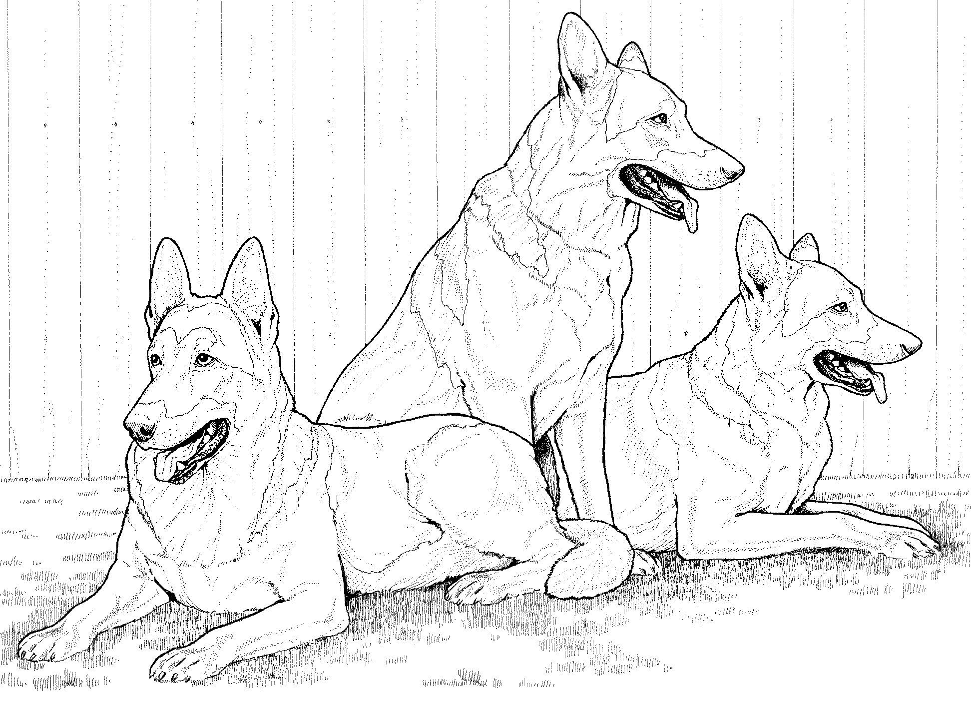 German Shepherd dogs Coloring Page