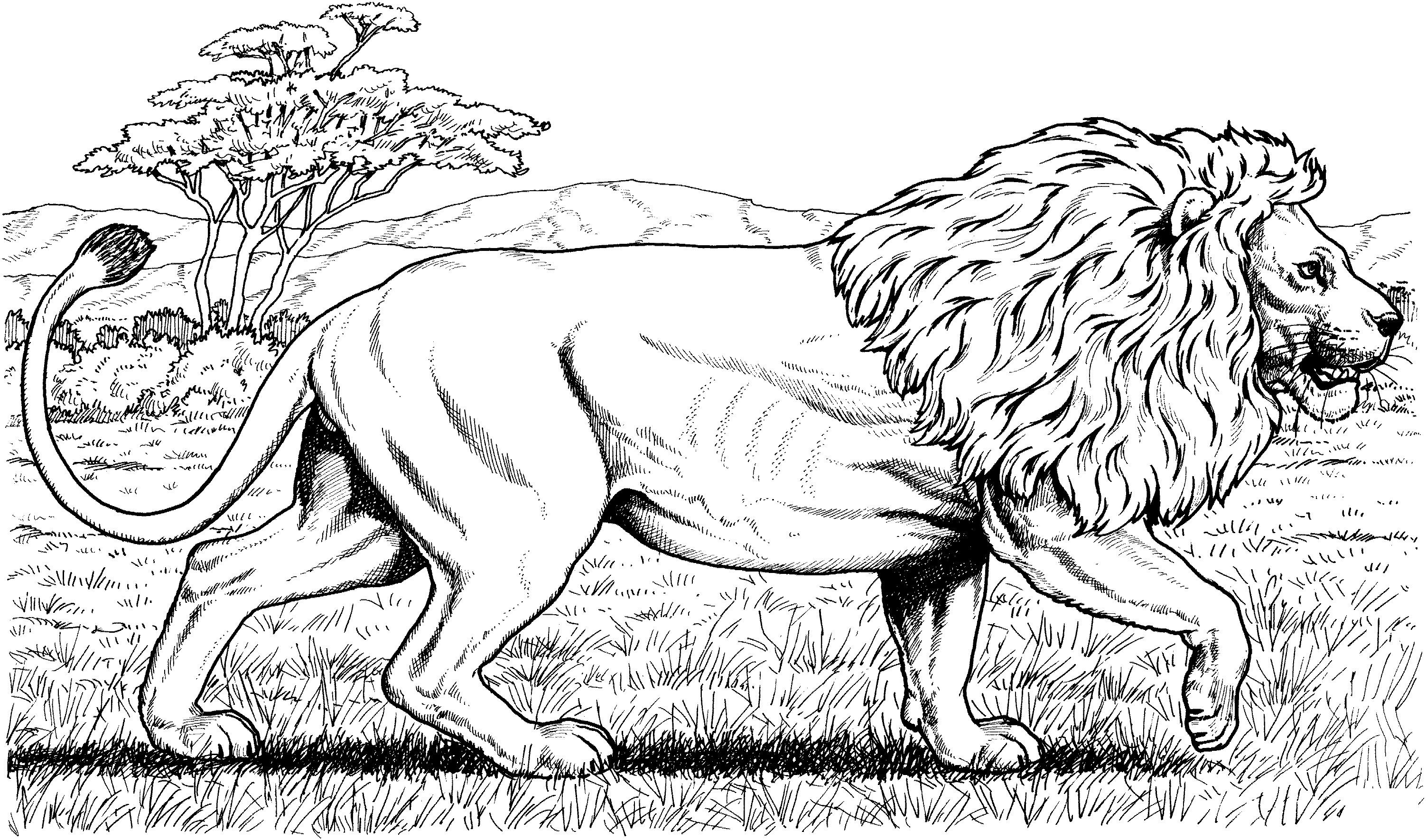 Lion African Walking