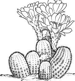 Lobivia Famatimensis Cactus