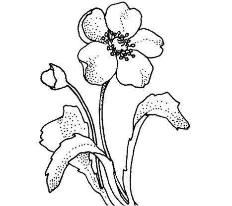 Papaveraceae Poppy Flower