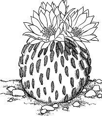 Pelecyphora Aselliformis or Peyotillo Cactus