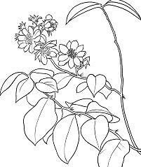 Pereskia Aculeata or Barbados Gooseberry or Leaf Cactus Coloring Page