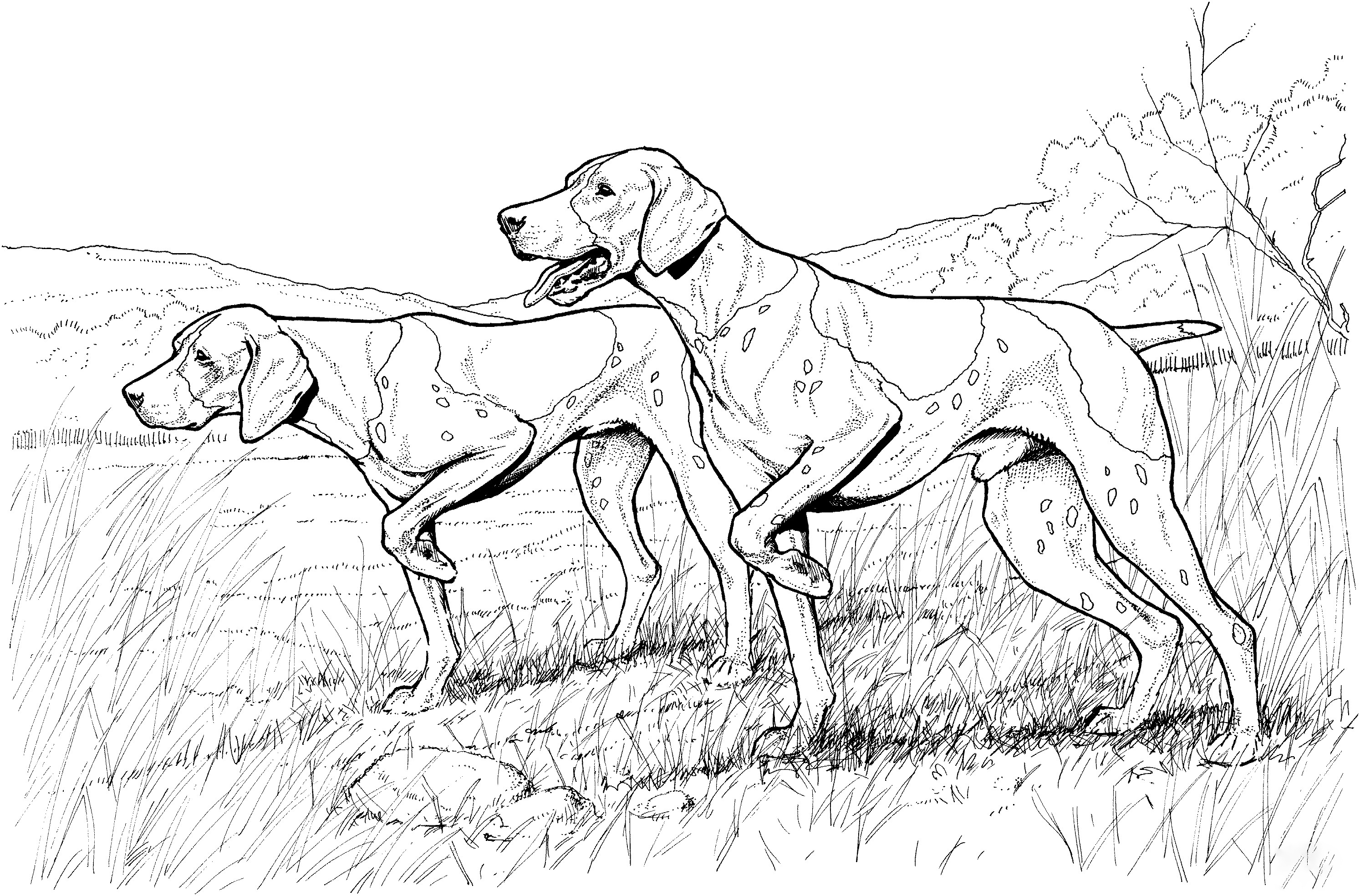 Pointer dog Coloring Page