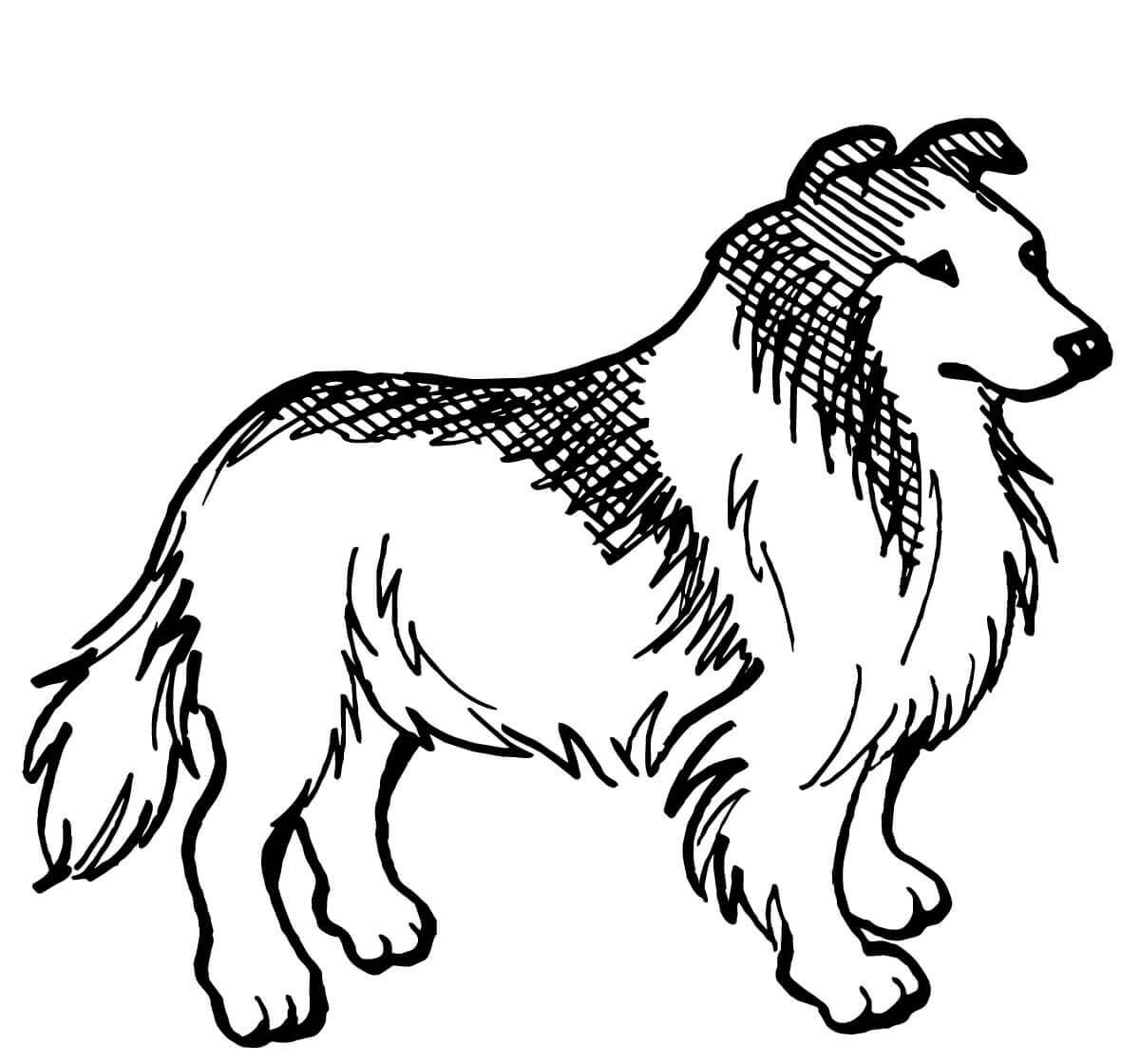 Rough Collie black and white
