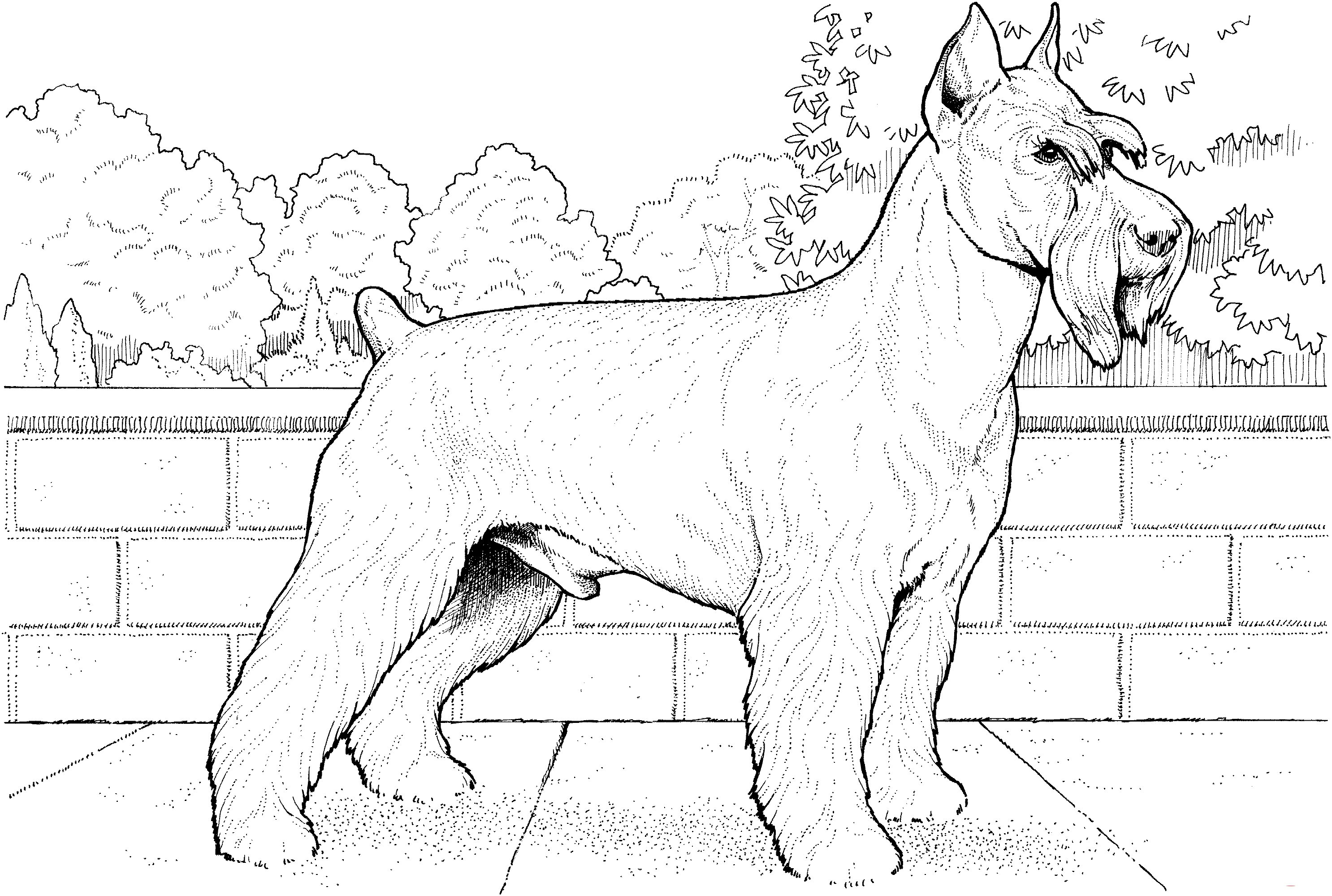 Schnuzer terrier Coloring Page