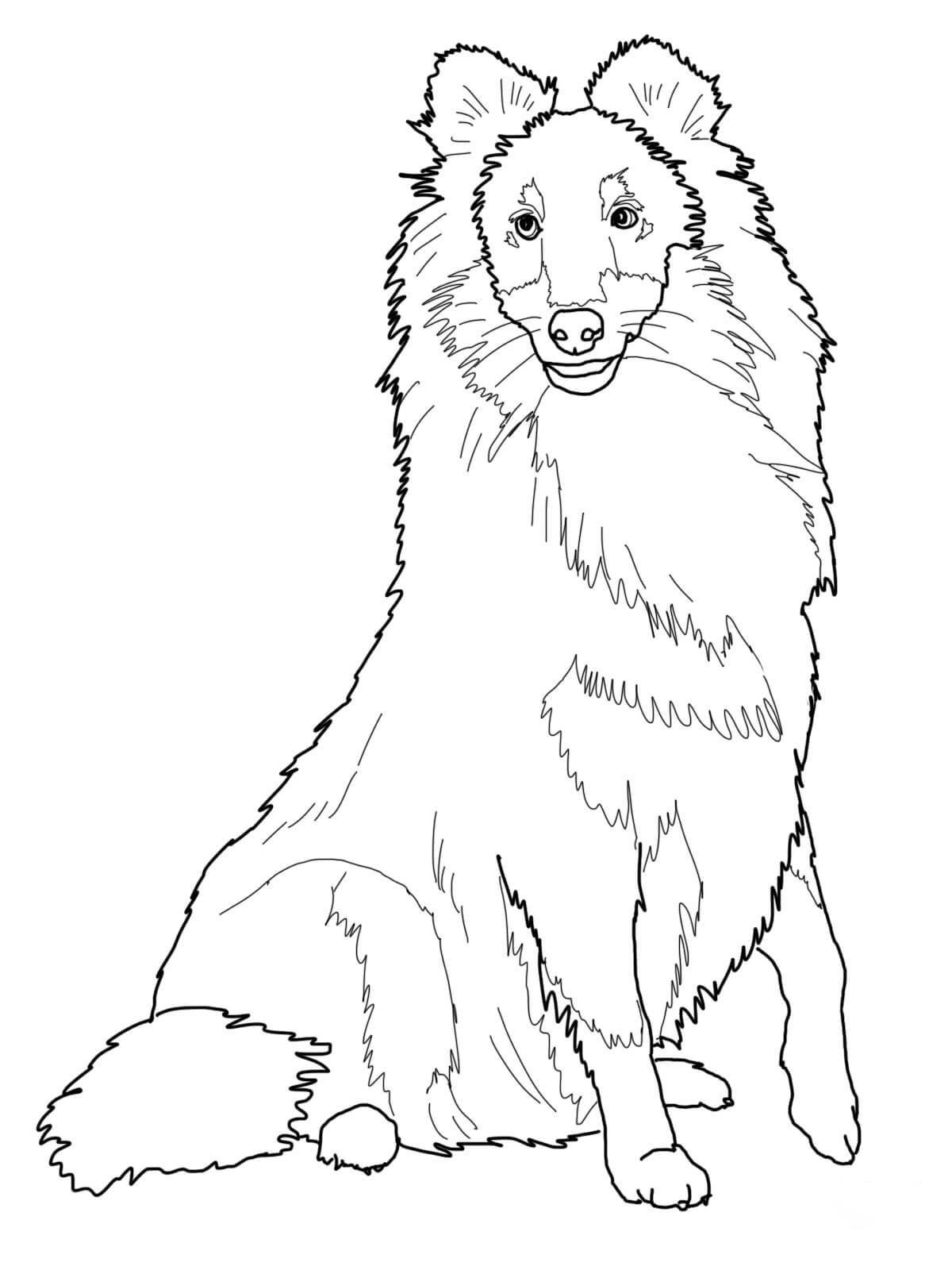 Sheltie Shetland Sheep dog