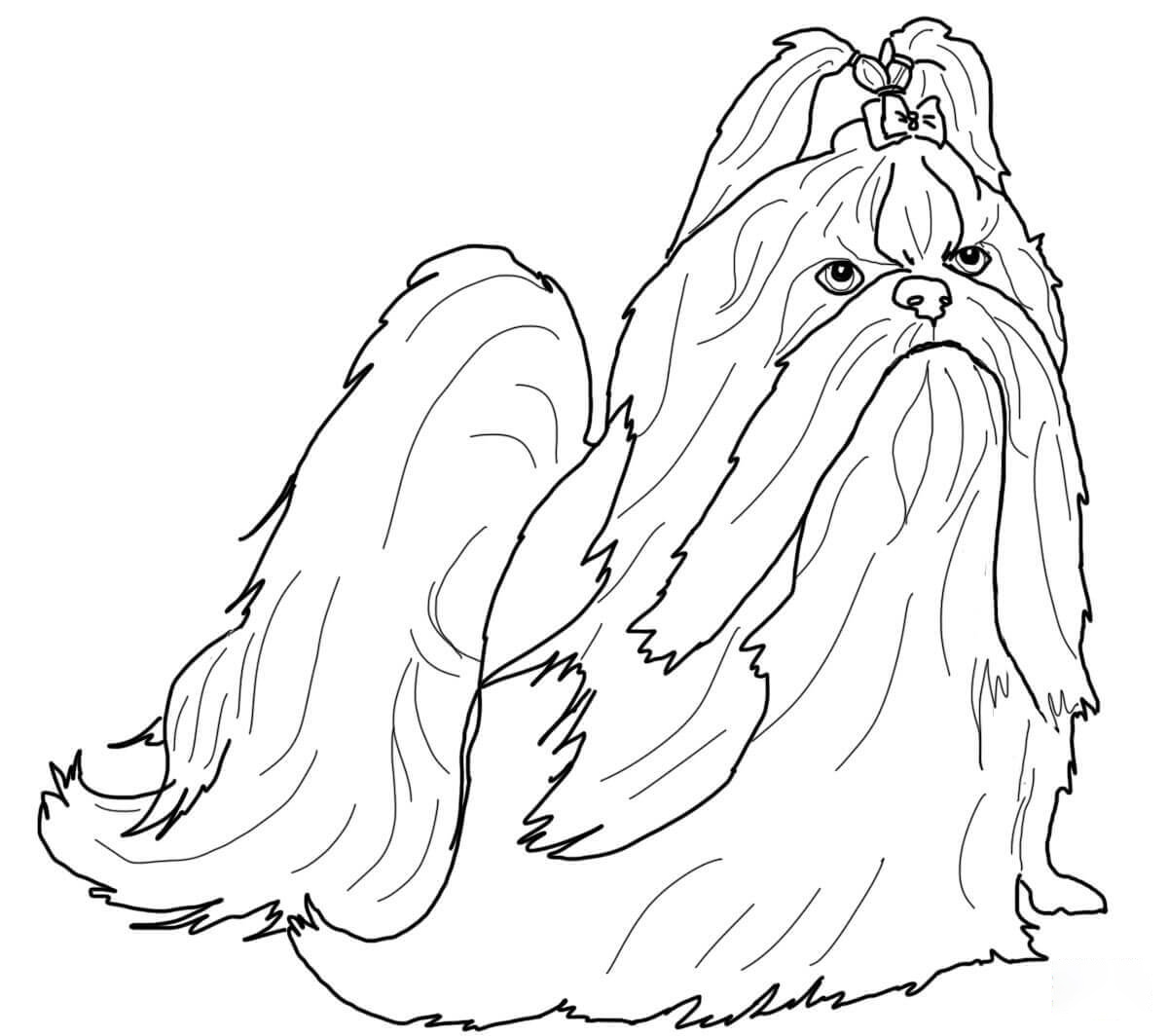 Shih-tzu in show coat Coloring Page