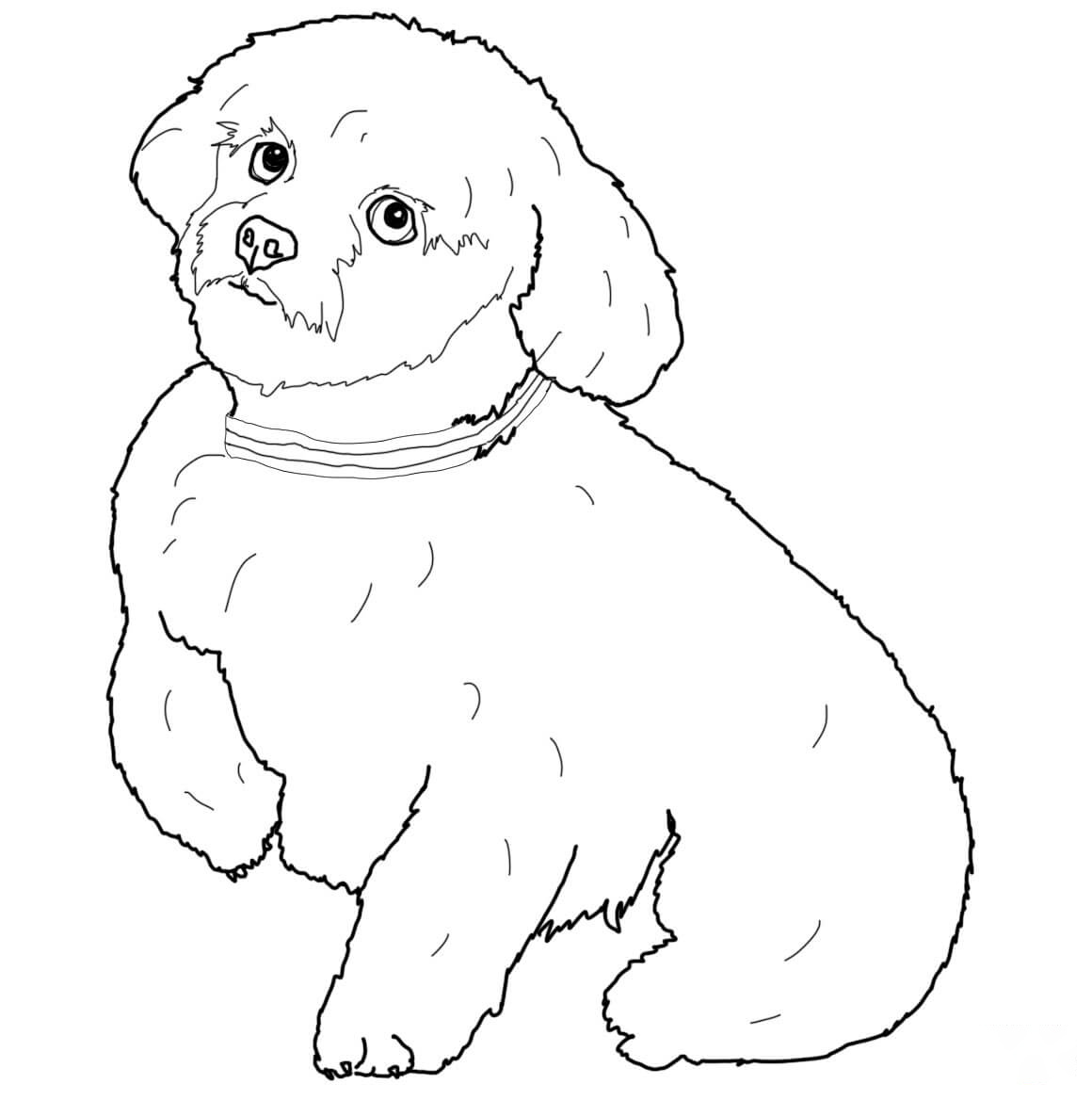 Short hair Maltese Coloring Page