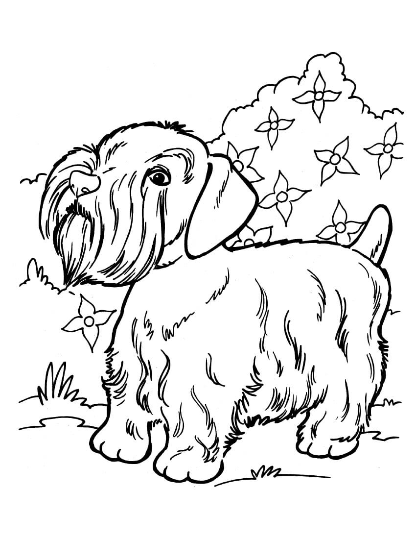 Silky Terrier Coloring Page