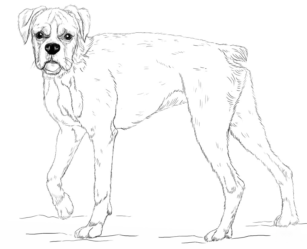 Tall Boxer Dog Coloring Page
