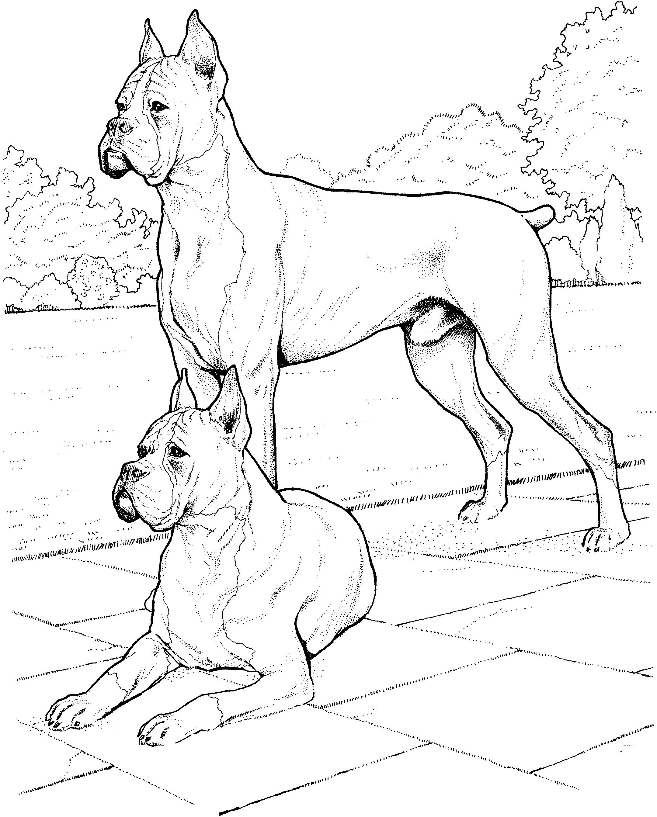 Two boxer dogs  Coloring Page