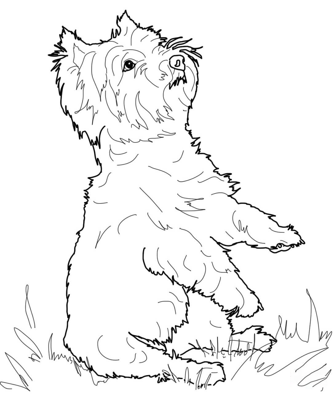 West Highland White Terrier Coloring Page