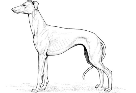 Whippet dog Coloring Page