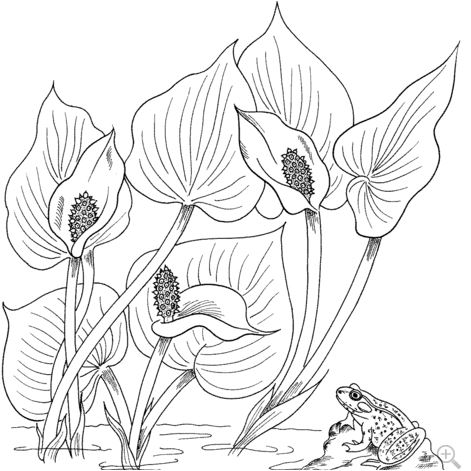Wild Calla or Water Arum