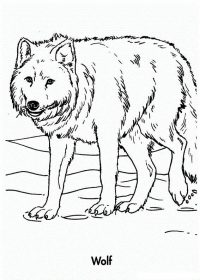 Wolf has thick and long fur  Coloring Page