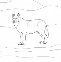 Arctic wolf has smaller ears, shorter legs, and smaller muzzles Coloring Page