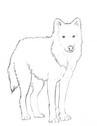 Arctic wolf has long and silky with soft fur Coloring Page