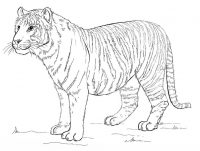 Stomatch of Malaysian Tiger is big and heavy Coloring Page