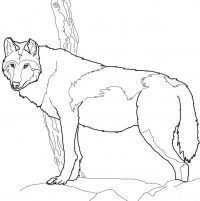 Canadian Timber wolf has short ears and bushy fur Coloring Page