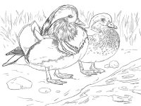 Male and Female Mandarin duck looking for food near the river bank Coloring Page