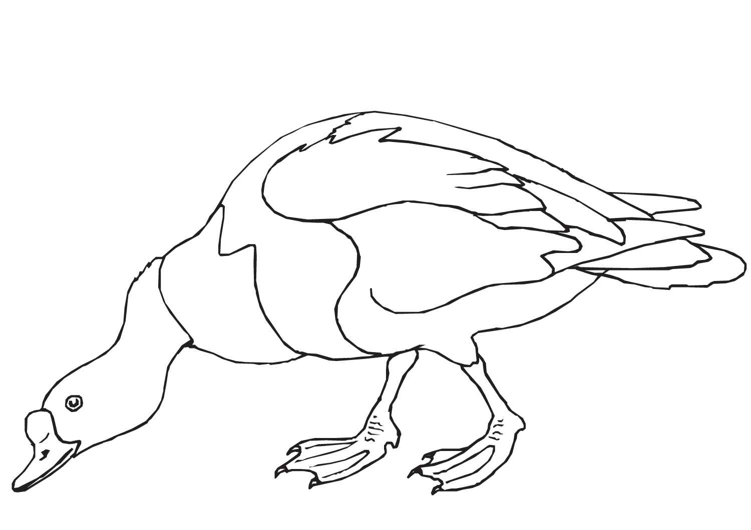 A large and heavy-bodied Muscovy duck looking for the food Coloring Pages