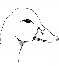 A duck has a tall head and short bill Coloring Page