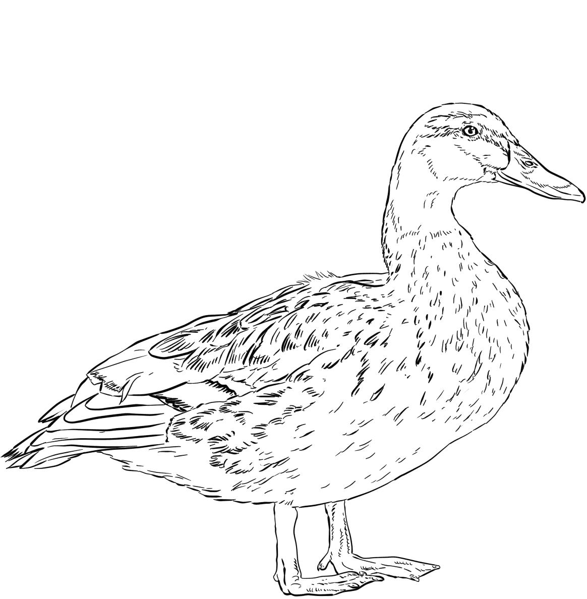 Female Mallard duck has dark body color Coloring Pages