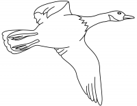 Flying Mallard duck needs large wings for fast takeoffs Coloring Page
