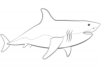 Great white shark has a body shaped like a blunt torpedo Coloring Page