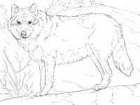 Gray wolves look somewhat like a large German shepherd Coloring Page